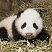 Pandas bleiben weitere zehn Jahre in Österreich