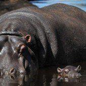 Nachwuchs bei den Hippos
