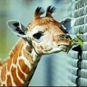 Hungriges Giraffenbaby