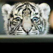 Neugieriges Tigerbaby