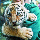 Tiger-Nachwuchs