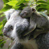 Koala-Baby erobert die Herzen