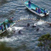 Japan schlachtet wieder Tausende Delfine ab