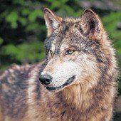 Der Wolf ist zurückgekehrt