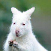 Albino-Bennett-Känguru