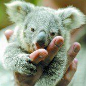 Koala-Nachwuchs