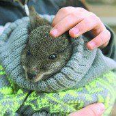 Viel Liebe für Känguru-Baby