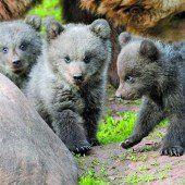 Nachwuchs bei den Bären