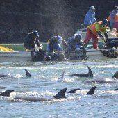 Aktivisten: Japanische Fischer töten 40 Delfine
