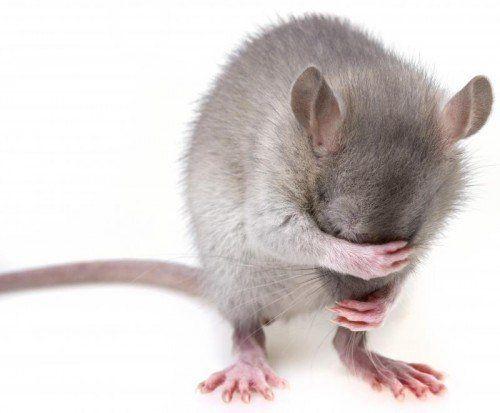 little mouse hidingher muzzle
