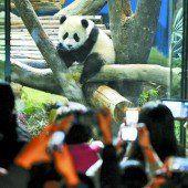 Baby-Panda Yuan Zai