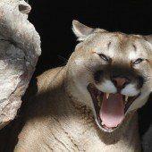 Puma-Attacke in Kalifornien