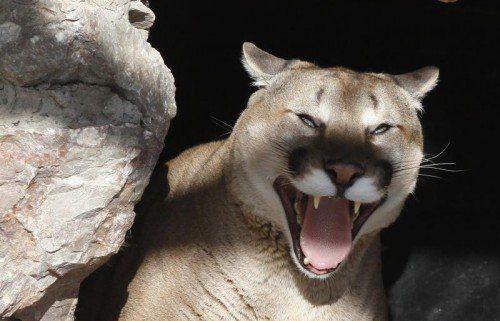 Angriffe von Pumas auf Menschen sind sehr ungewöhnlich. REUTERS