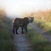 Tiger tötet zehn Menschen