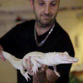 Weißer Alligator wird der Öffentlichkeit präsentiert