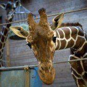 Giraffen-Tötung verursacht Proteste