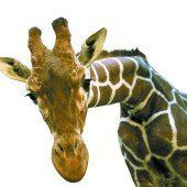 Bestürzung über Tod von Giraffenjunge Marius