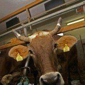Schrecken Rinder-TBC: 20 weitere Tötungen