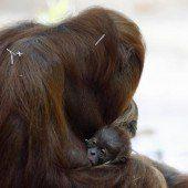 Niedlicher Orang-Utan-Nachwuchs
