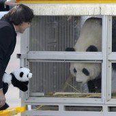 Staatsempfang für zwei Pandas in Belgien