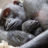 Inzucht scheint Berggorillas zu schützen