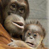 Primaten-Arten in Gefahr