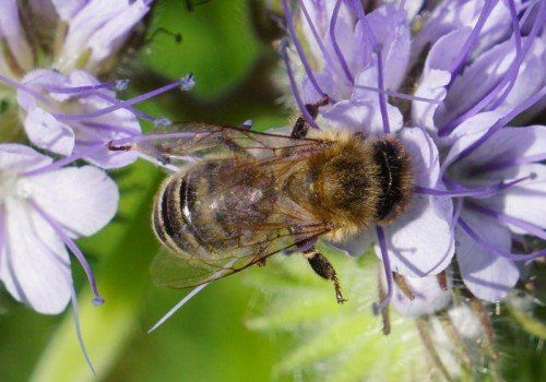 Bienen brauchen blühende Pflanzen, um ihrer nützlichen Arbeit nachzugehen. Foto: VN/Hartinger