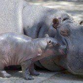 Mexiko freut sich über Hippo-Baby