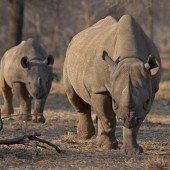 Mikrochips gegen Nashorn-Wilderei