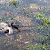 Schlange in Australien verschlingt Krokodil
