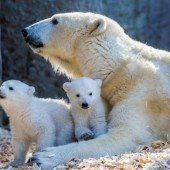 Eisbären-Babys erkunden Freigehege