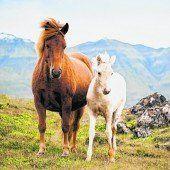 Die robusten Islandpferde
