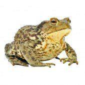 Amphibienwanderung beginnt: Helfer gesucht