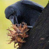 Jäger töten jährlich 1500 Krähen in freier Natur