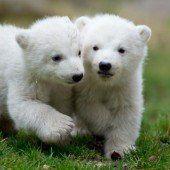 Kleine Bären, großer Auftritt