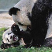 Knuddel-Alarm bei den Pandas