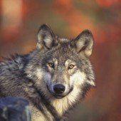 Mehr Wölfe