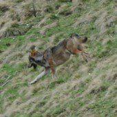 Wolf am Arlberg auf Beutezug
