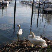 Schwanenpaar legt im Lochauer Hafen an