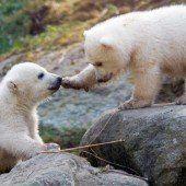 Bären-Taufe