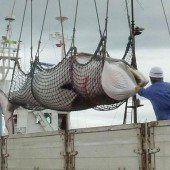 251 Zwergwale in der Antarktis getötet