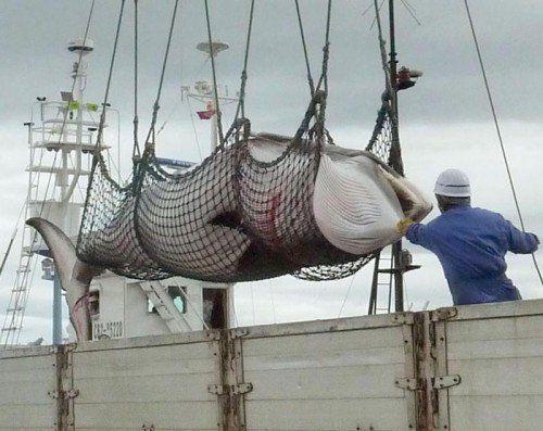 Es war die letzte Jagd in der Antarktis: Ende März hatte der Internationale Gerichtshof Japan den Walfang in der Region verboten.  Foto: AP