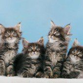 Internationale Katzenschau in Lauterach