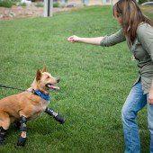 Der erste Hund mit vier Beinprothesen