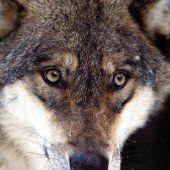 Der Wolf soll sich schon in Vorarlberg befinden