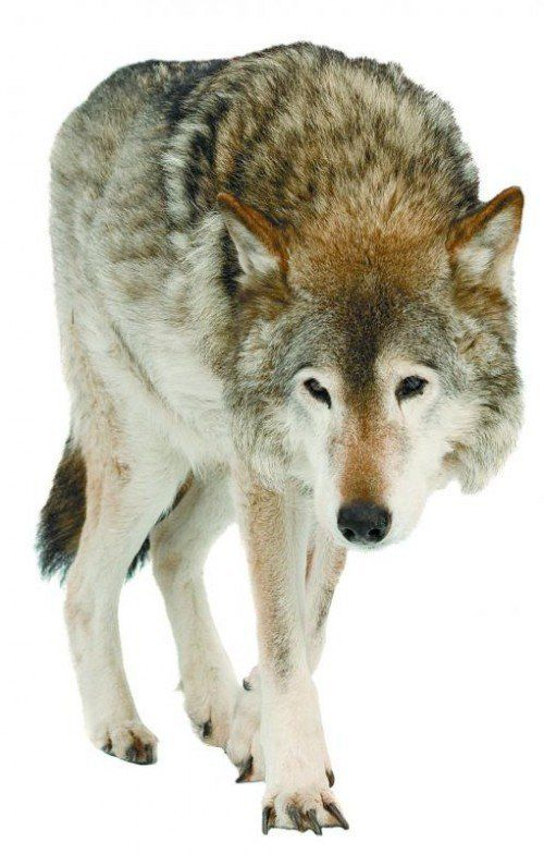 wolf (Canis lupus). Isolated over white background with shade