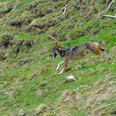 Ein Jungwolf in Vorarlberg