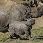 Kleines Nashorn ganz groß