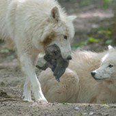 Sechs Babys für Schönbrunner Wolfsrudel