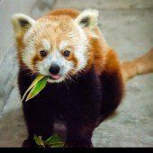 Entzückender Panda-Nachwuchs